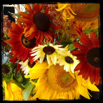 blog-slide-show-sunflowers-of-victoria