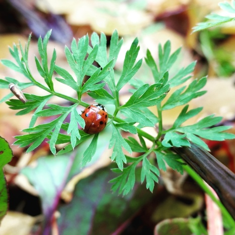 blog-slide-show-ladybug-on-carrot-greens