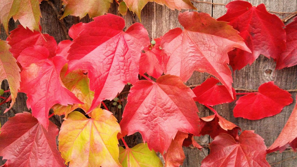 red-leaves-horizontal