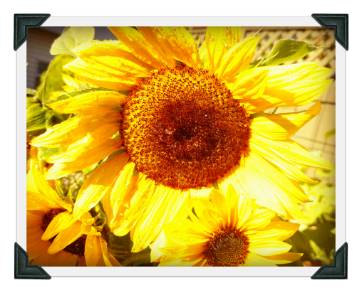 blog slide show sunflower